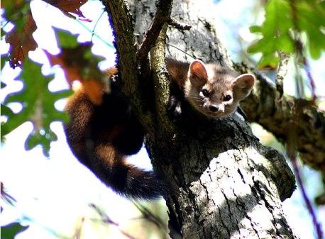 Marten in a tree at Mesker Park Zoo in Evansville.