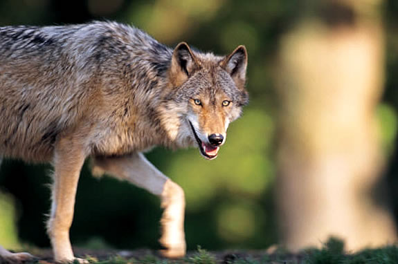 Stock photo of a wolf