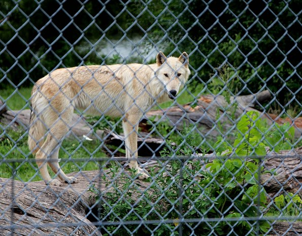 Bicho at Wolf Park