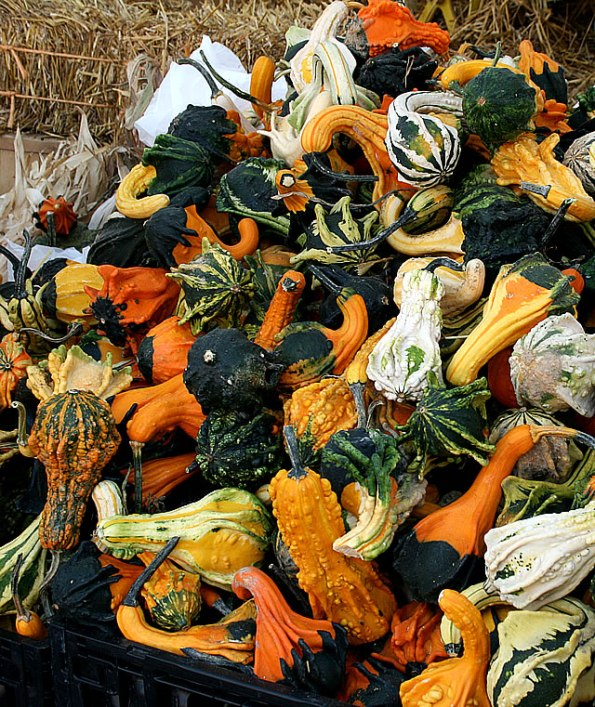 Riley Festival Gourds