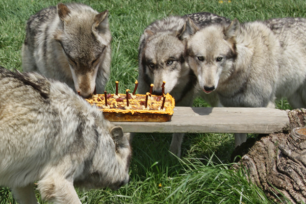 Happy birthday Wolf! Wolf-park-birthday-cake