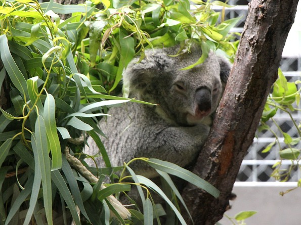 Koala action (?) at the Indianapolis Zoo.