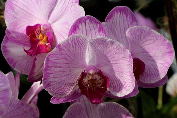 orchids-16